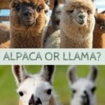 Alpaca vs Llama: what's the difference?