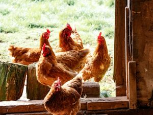 Happy, healthy chickens
