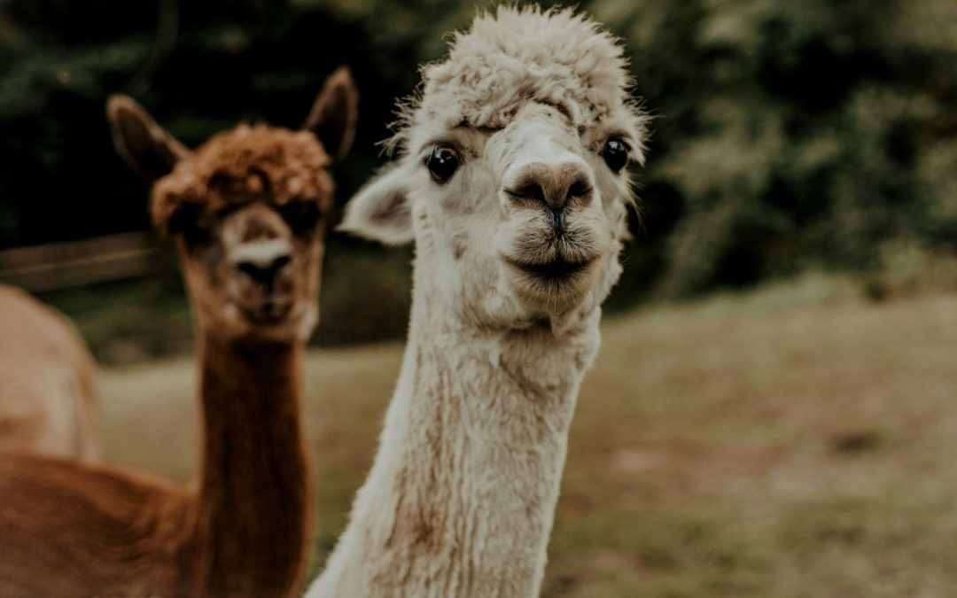 What's the Difference Between an Alpaca and a Llama?