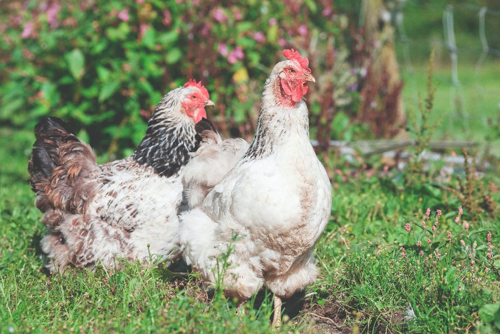 Chickens and Self-Sufficiency: Is Raising Chickens Cost-Effective?