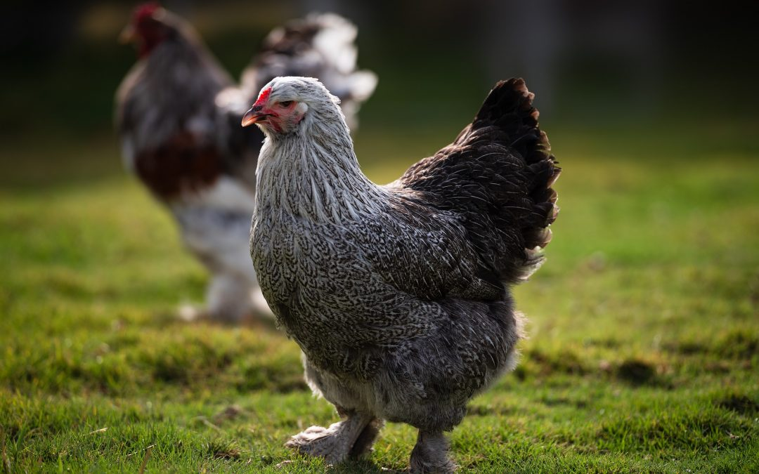 6 Reasons Why Brahmas Are the King of All Chicken Breeds