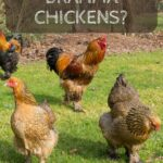 What's so special about Brahma Chickens?