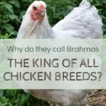 Why are Brahmas the King of all Breeds?