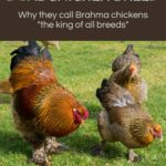 Feathered Feet & Dual Chicken Breed