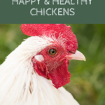 What do chickens need? Raising happy & healthy chickens