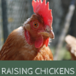 What do chickens need? Raising chickens for beginners