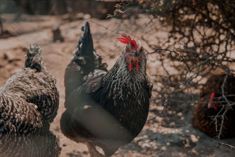 Free-ranging chickens with a mobile coop