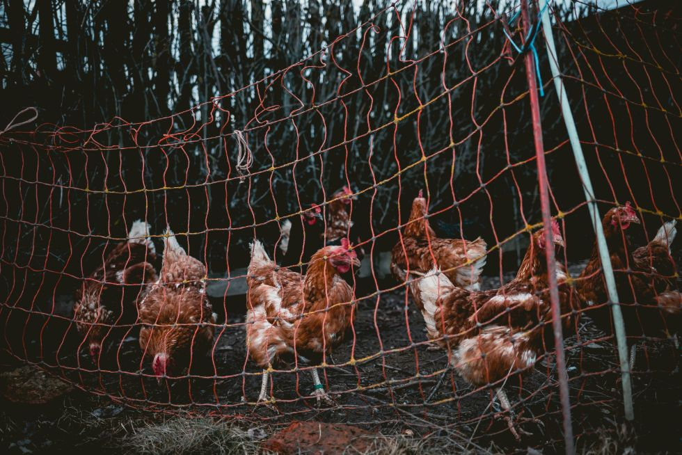Electric chicken netting