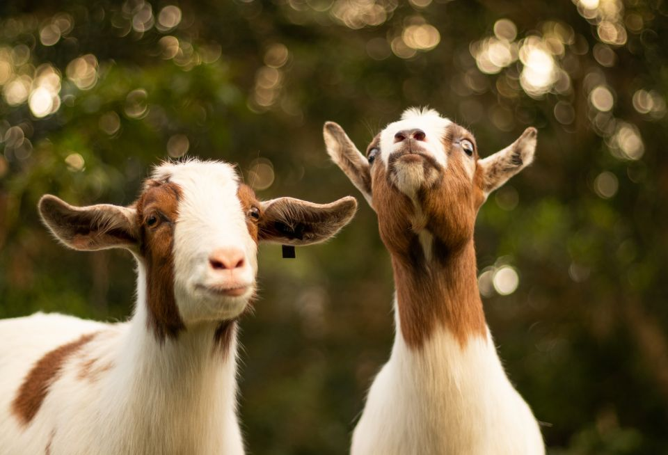 Goats for milk & meat & self-sufficiency