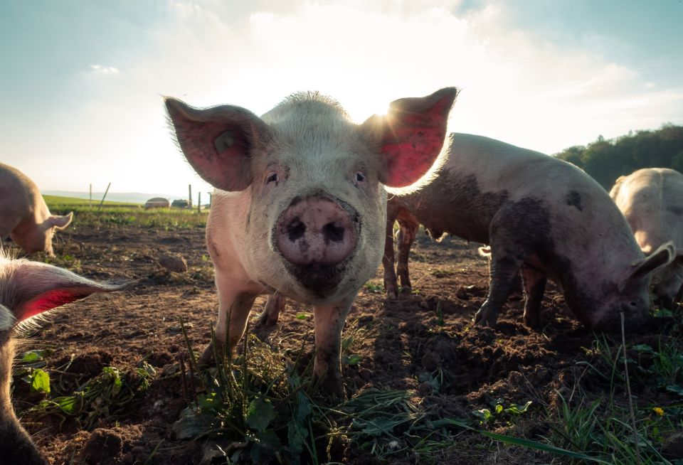 Pigs as animals for self-sufficiency