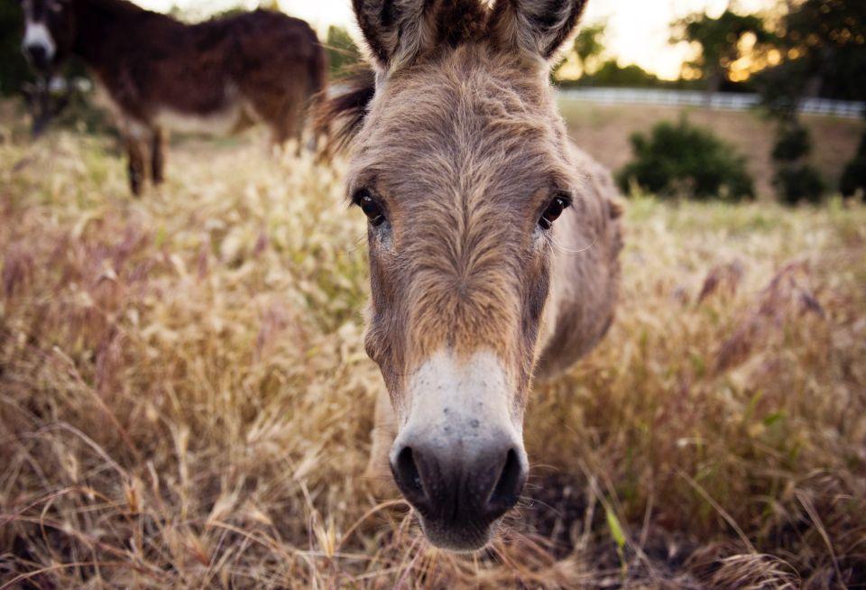 Donkeys as livestock guard animals