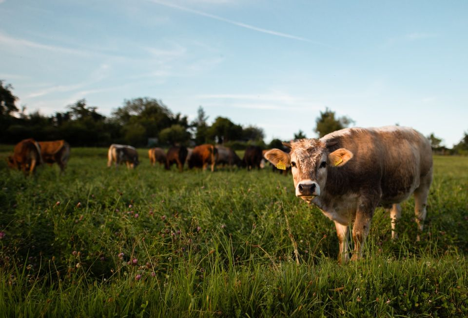 Cows for milk & meat & self-sufficiency