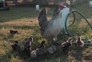 Chicken with small chicks - hatching eggs